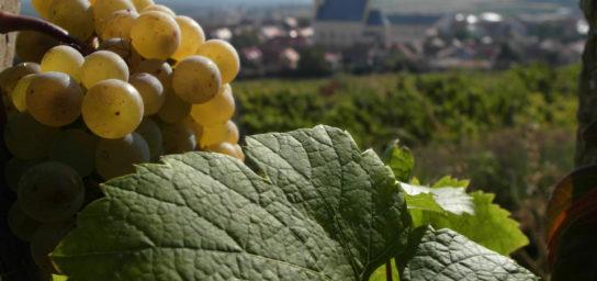 Die Weine aus Svätý Jur an einem Ort